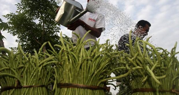 Kacang Panjang, Solusi Bubidaya bagi Petani Jember
