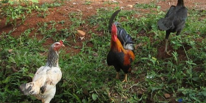 ayam2